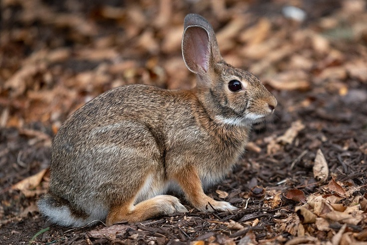 New England Cottontail breed