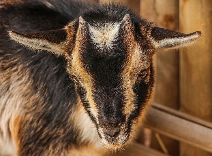 Nigerian Dwarf_Goat