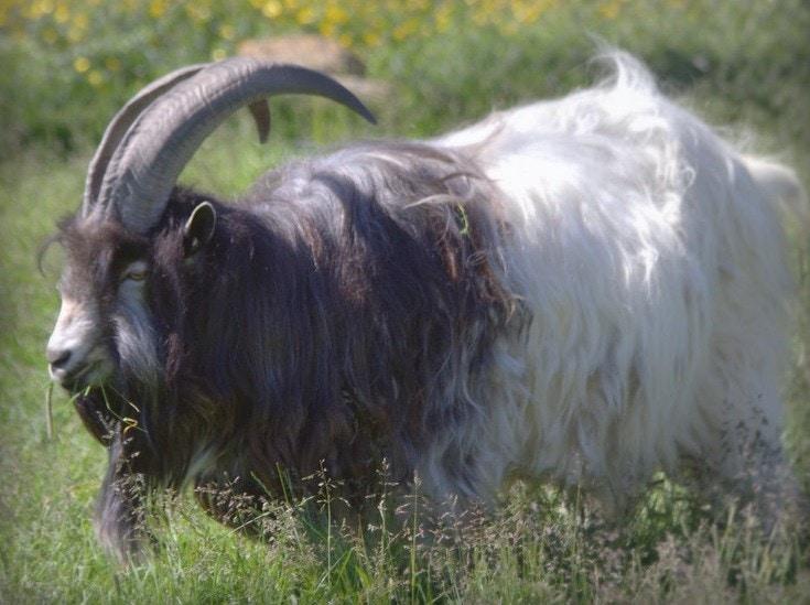 Nordic goat