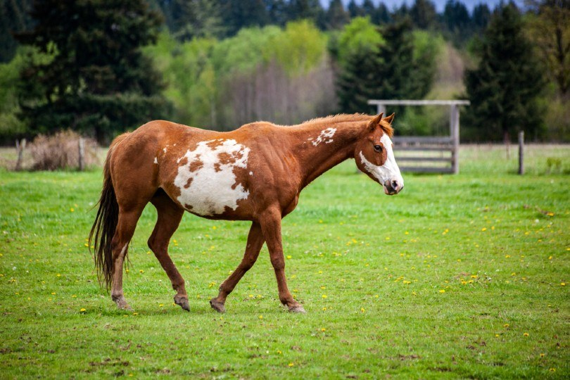 Overo patterned horse