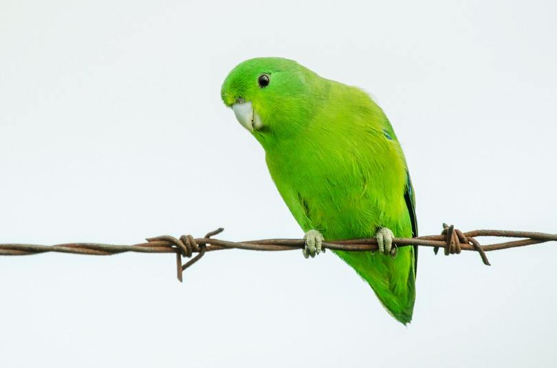 Parrotlet perched on a wire