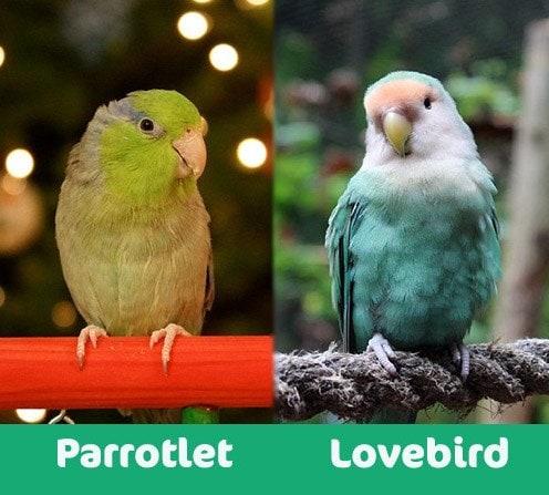 Parrotlet vs loverbird visual