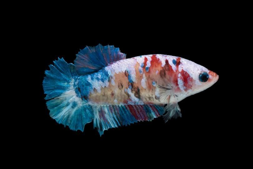Plakat Betta Fish