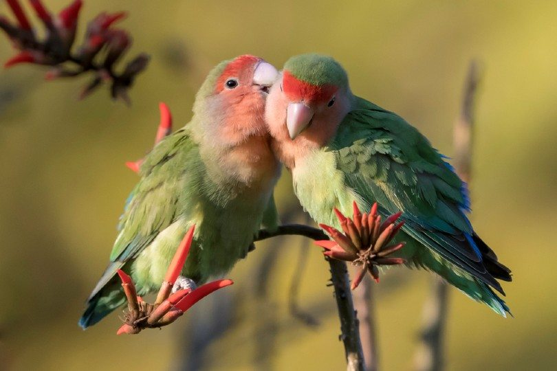 Red-Faced Lovebirds