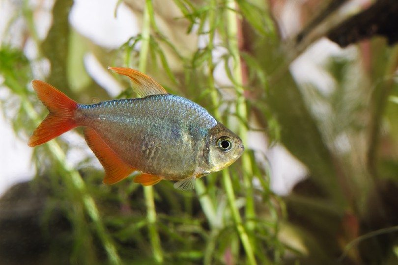 Red and Blue Colombian Tetra