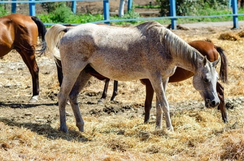 Roan Spots Horse