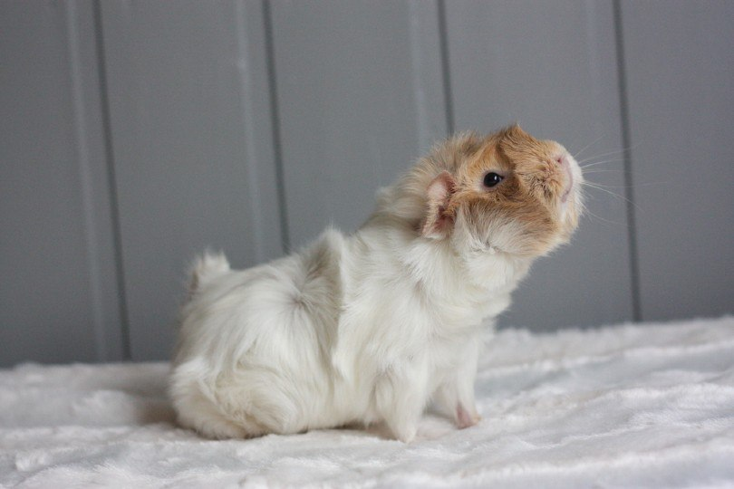 Roan guinea pig