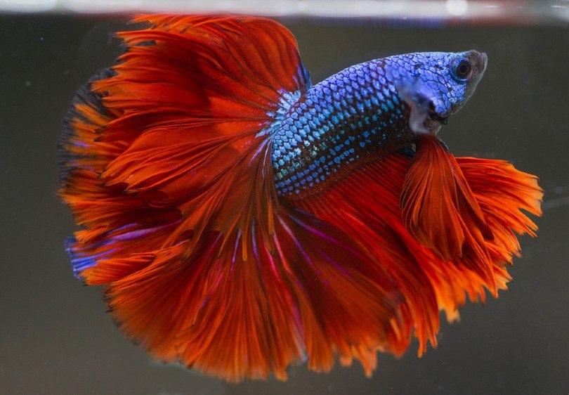 Rose Tail Betta Fish