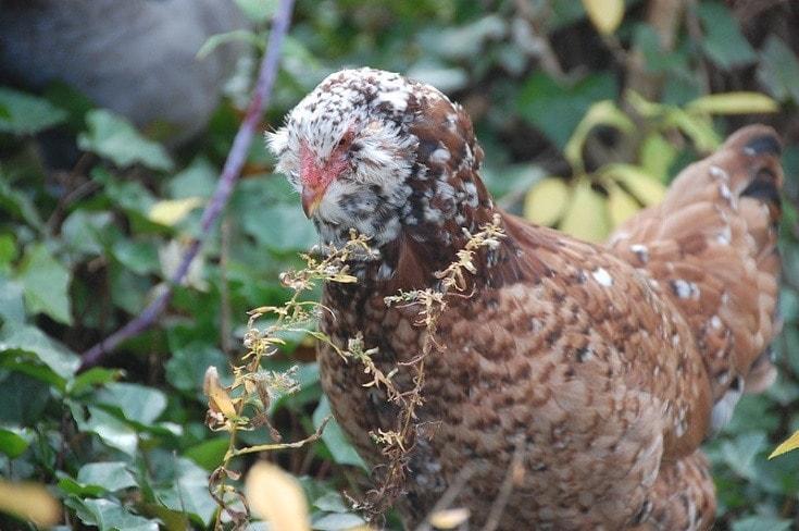 Russian Orloff Hen