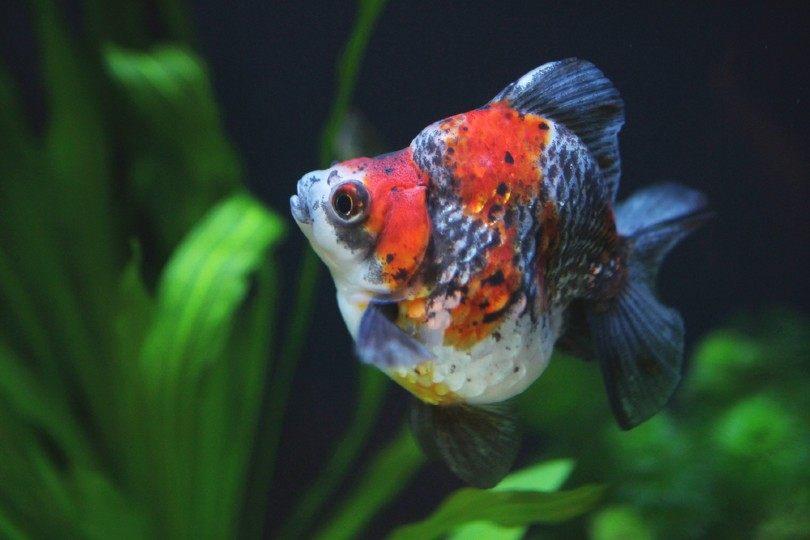 Ryukin Goldfish in aquarium