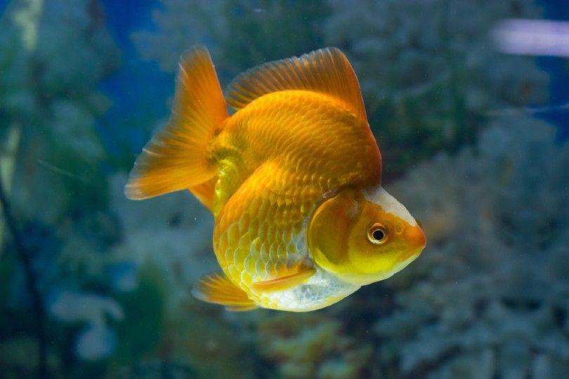 Ryukin Goldfish in fish tank