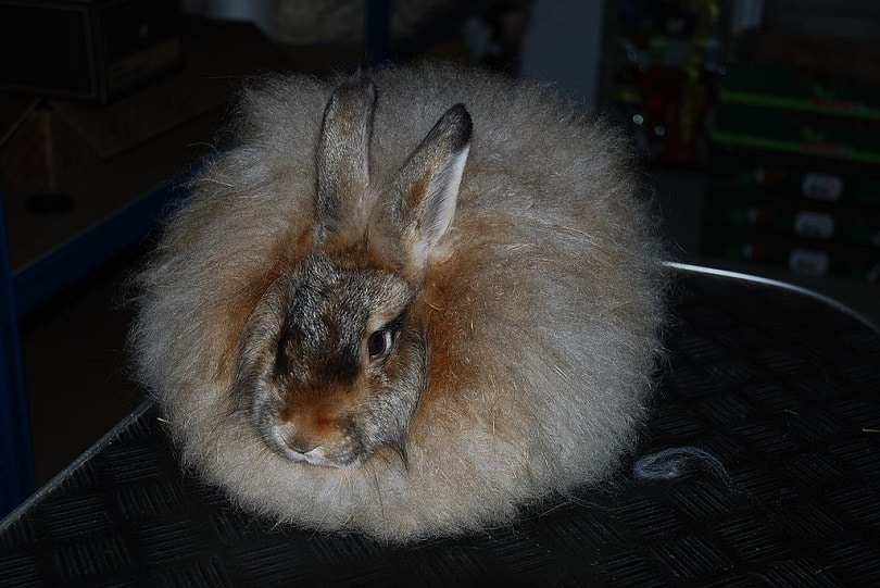 Satin_Angora-commons wikimedia