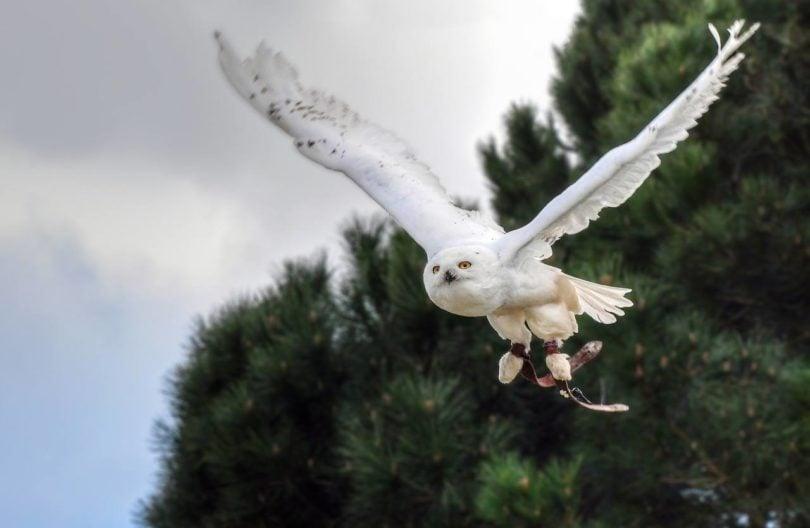 Snowy Owl_Pixabay