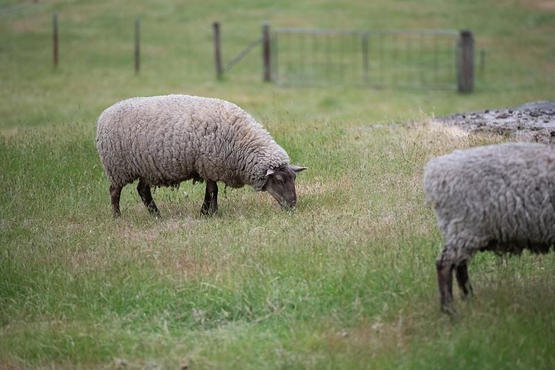Suffolk_Sheep