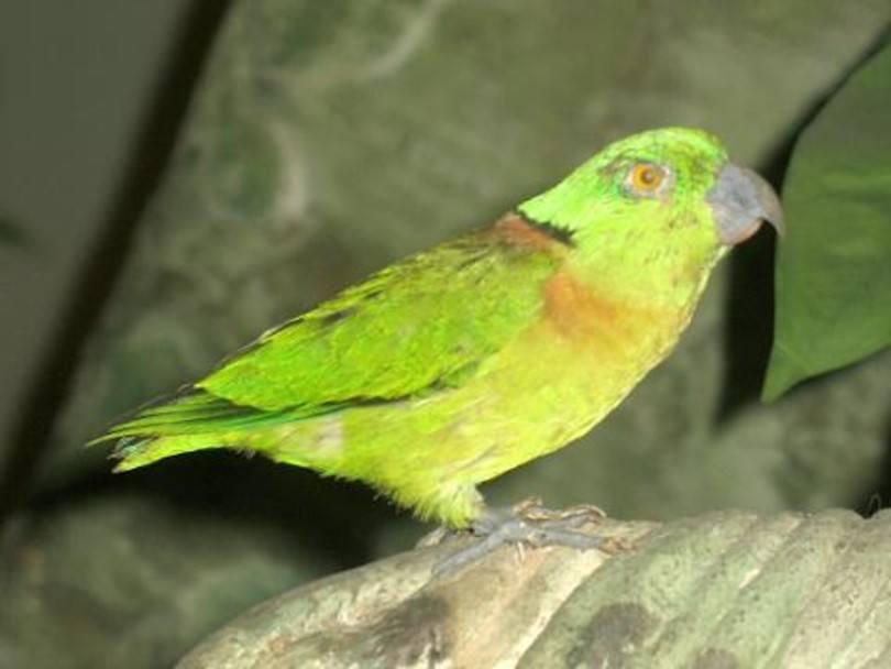 Swindern's Lovebird
