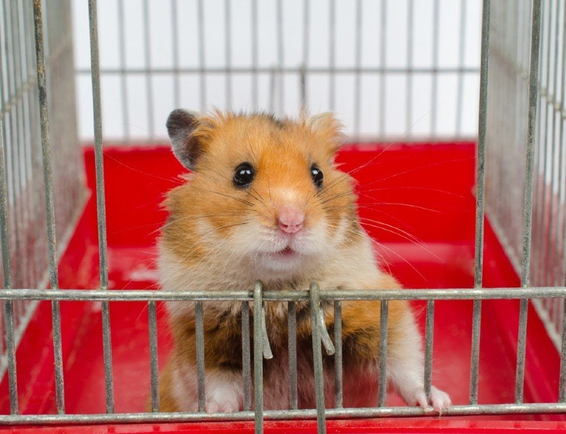 Syrian hamster looking out of the cage