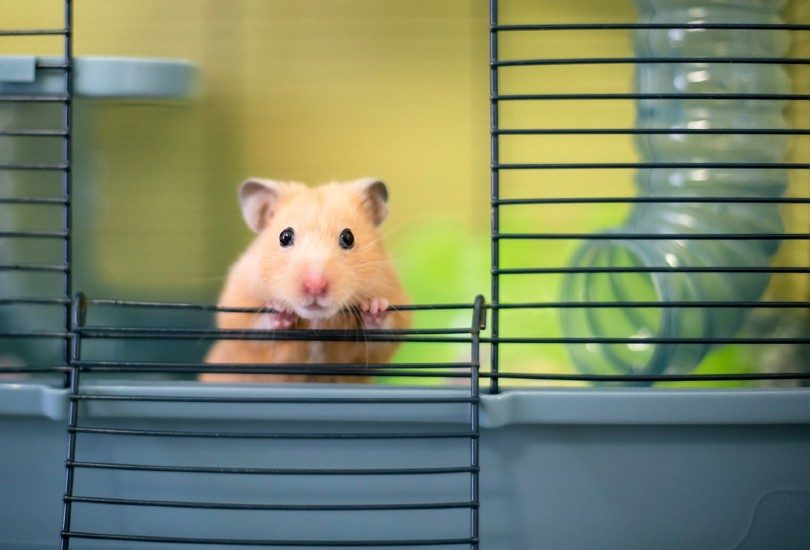 Syrian hamster peeking out of its cage