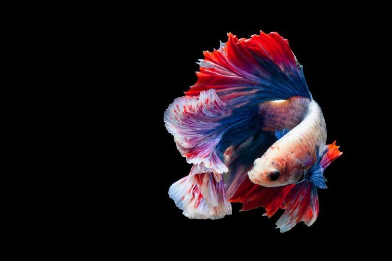 Thai Flag Betta Fish