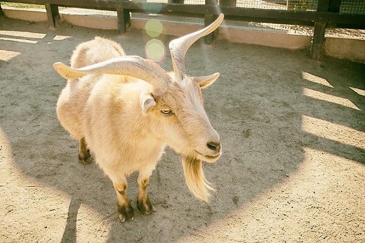 The Nigerian Dwarf Goat