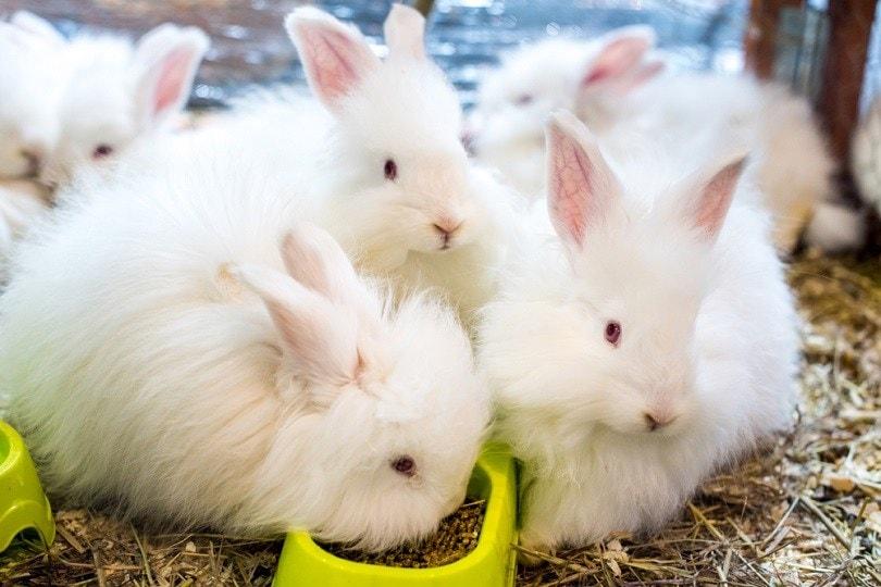 Three-funny-fluffy-Angora-rabbit_Zanna-Pesnina_shutterstock