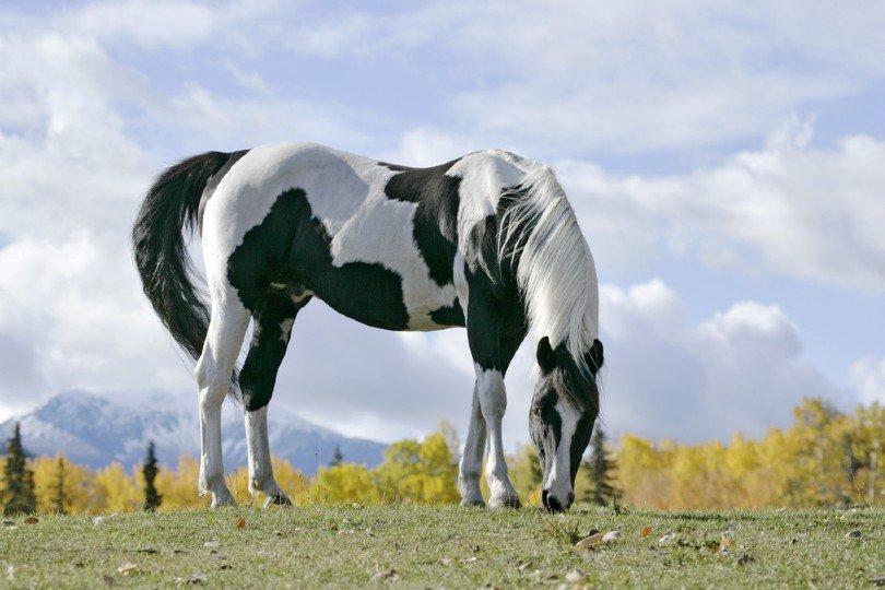 Tobiano Pinto Stallion