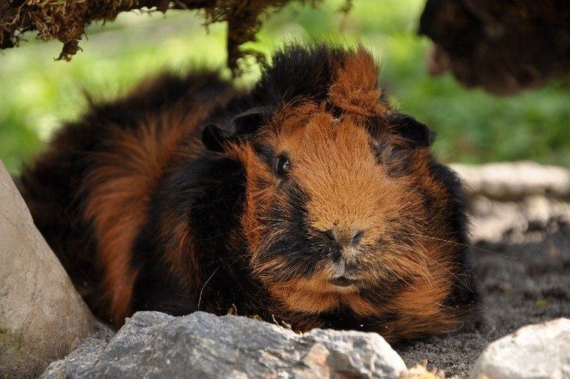 Tortoiseshell guinea pig