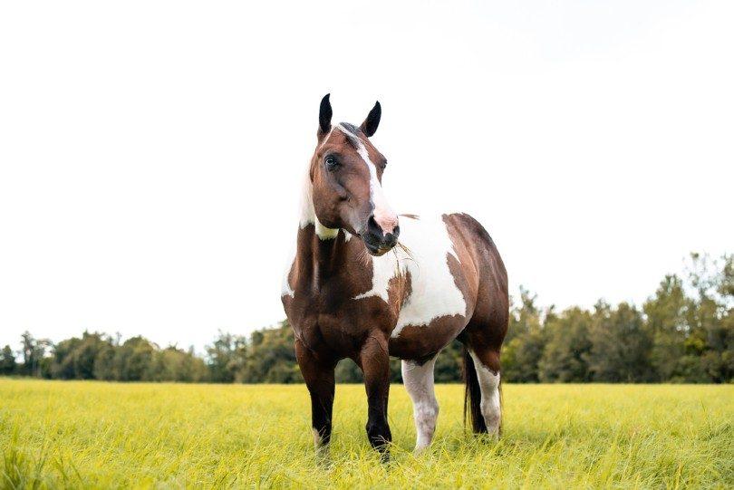 Tovero Horse