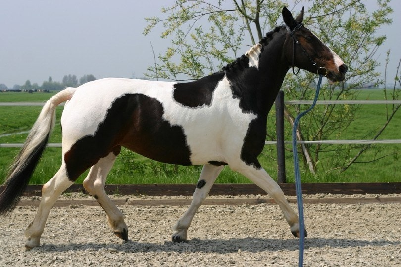 Trotting horse on a line