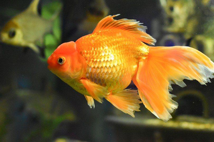 Veiltail Betta Fish