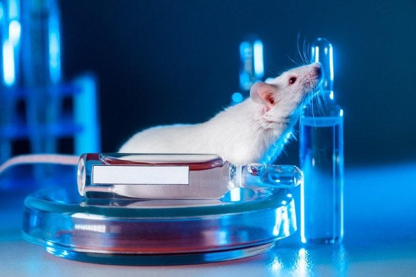 White albino rat in a modern laboratory
