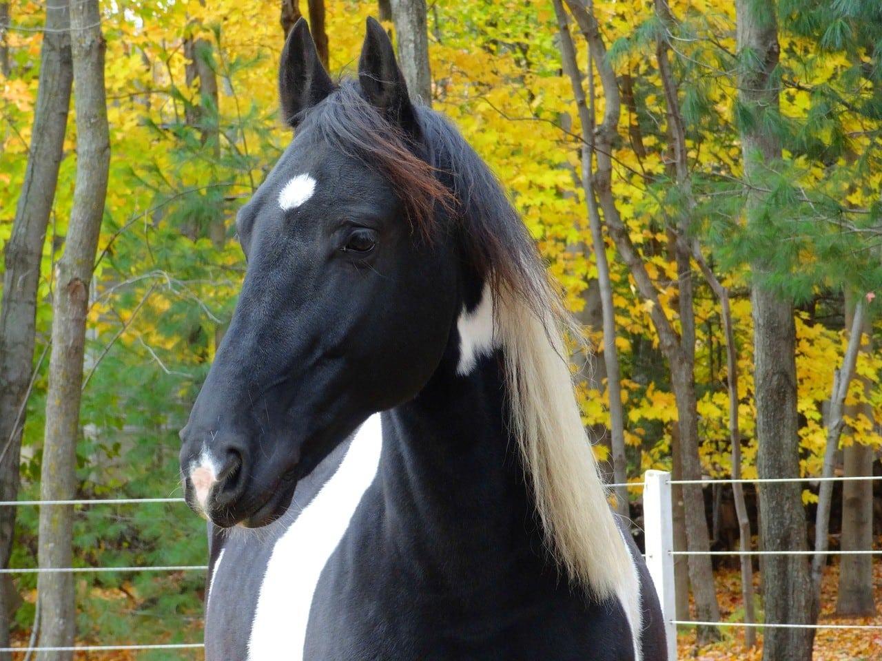 a Friesian Horse