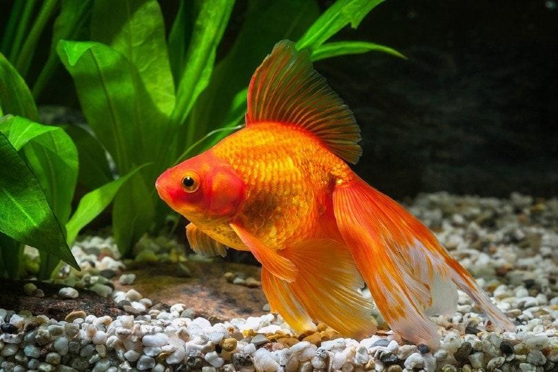 a Ryukin Goldfish in aquarium