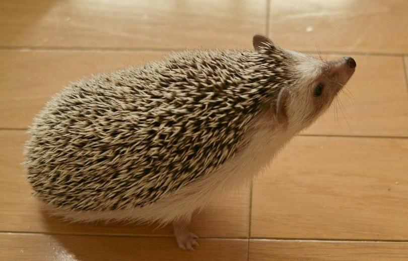 a cute hedgehog on the floor