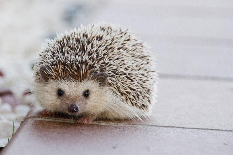 a cute hedgehog