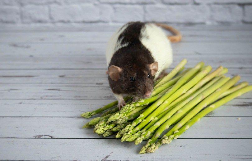 a dumbo rat sniffs a bouquet of asparagus