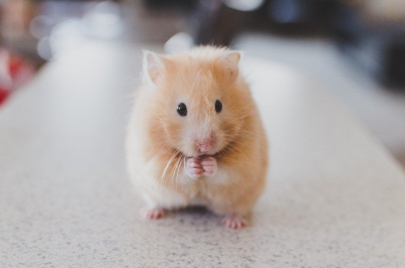 a hamster on countertop