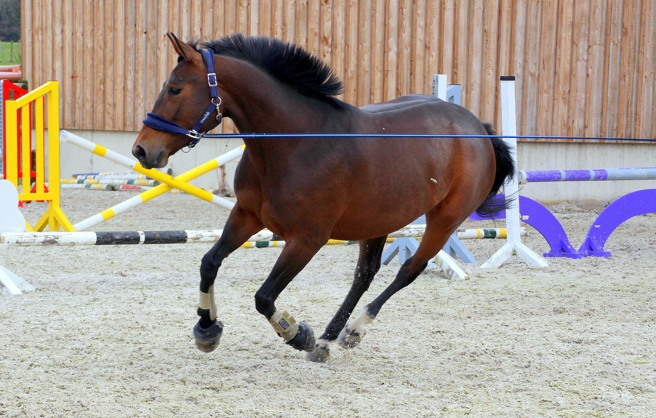 a horse lunging