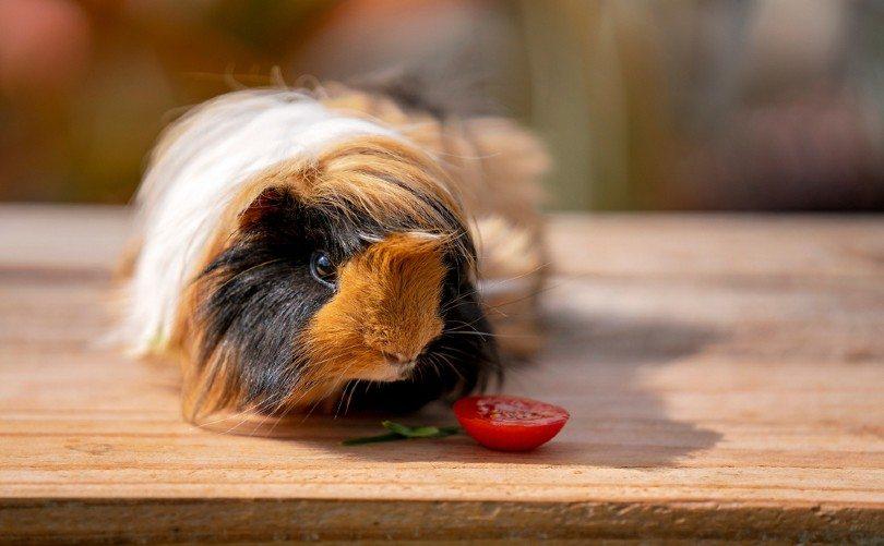 a male guinea pig
