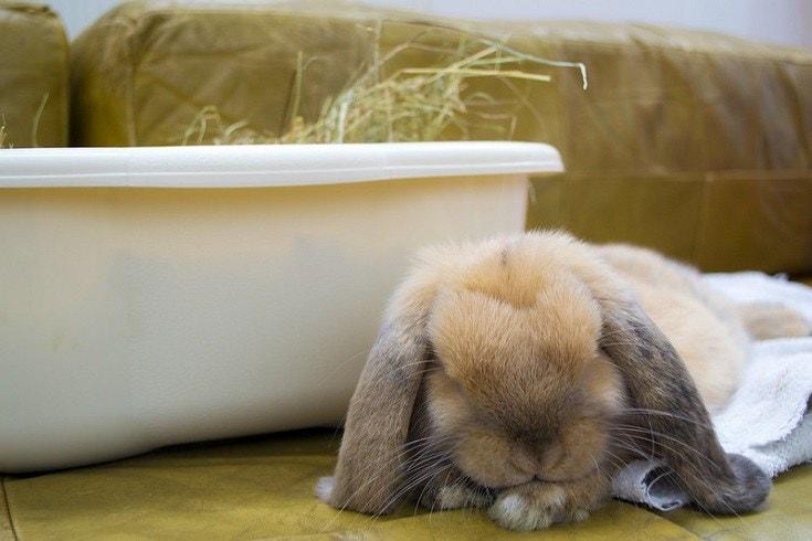 a mini lop rabbit