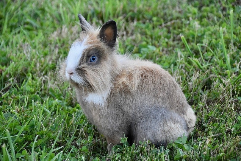 a rabbit with blue eyes