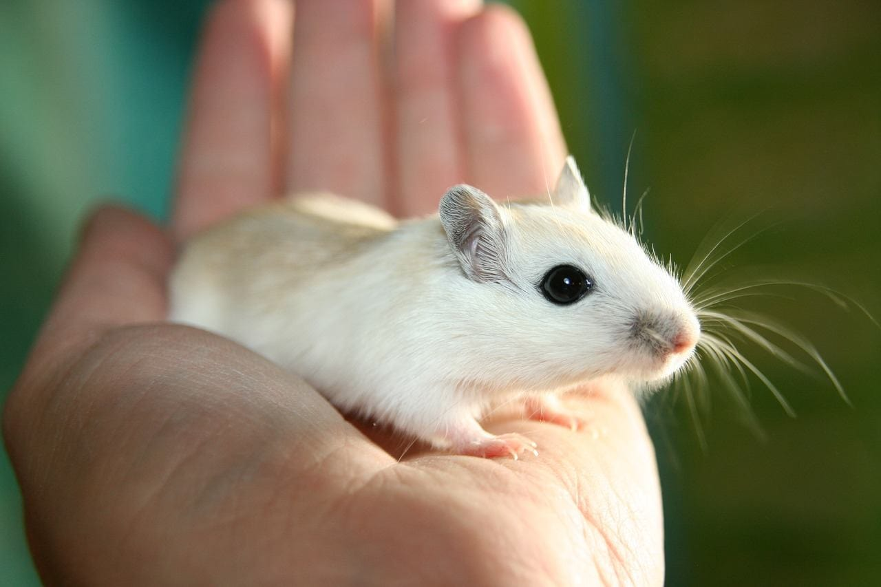 a racing mouse