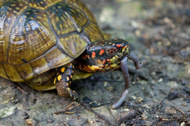 a turtle eating earthworm