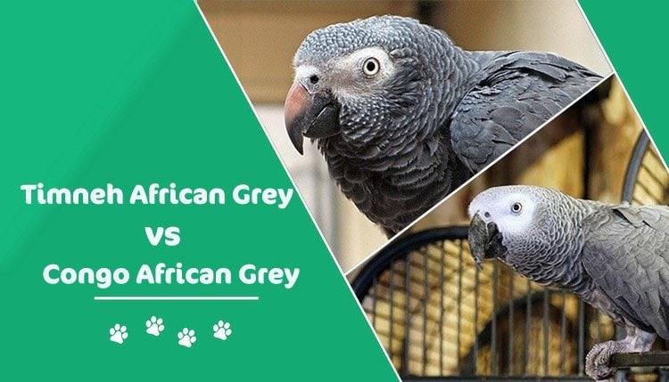 african grey parrots header