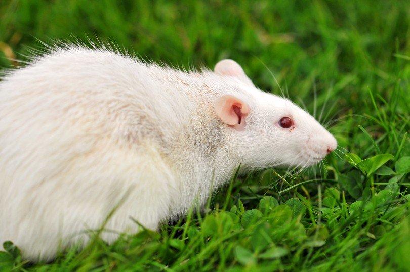 albino rat on green grass