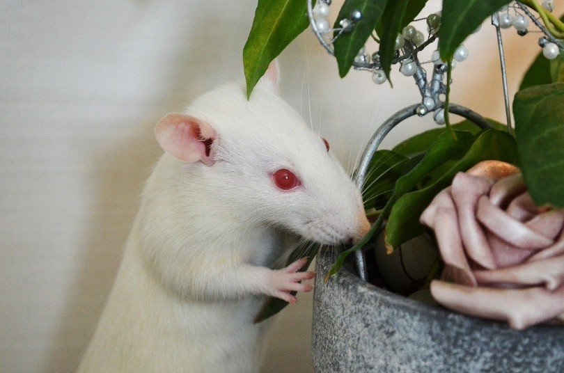 albino rat sniffing the plant
