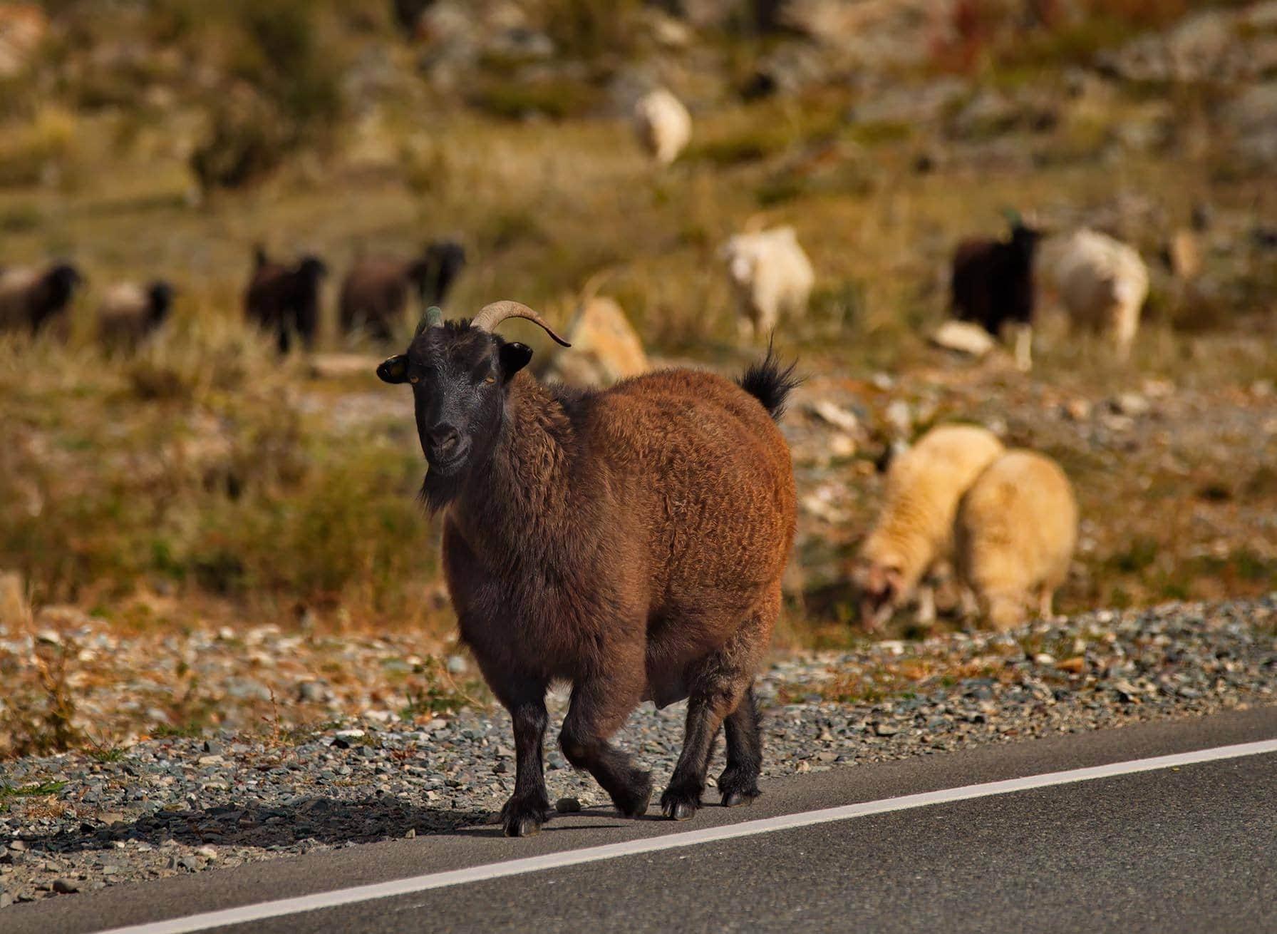 altai goat