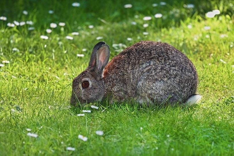 amber eyes rabbit-pixabay