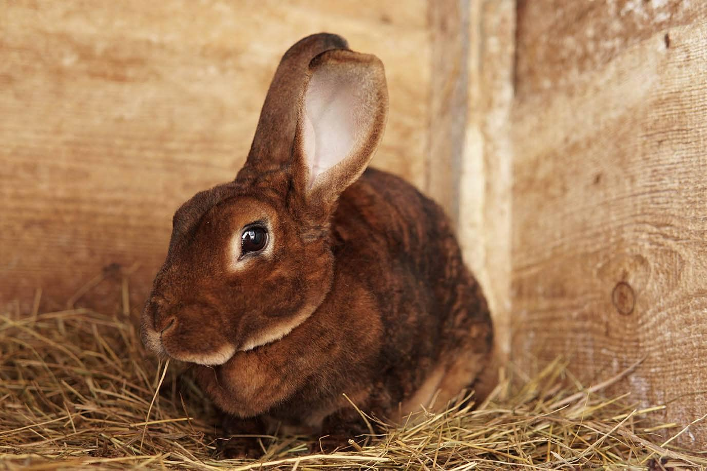 amber rex rabbit