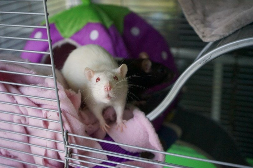 an albino rat in a cage