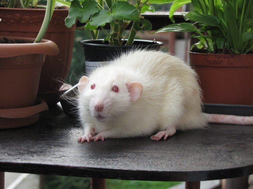 an albino rat on the table